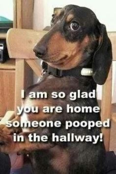haha Just like the weenie dog at our house!