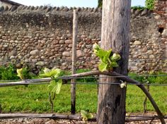 The first leaves in the vineyard