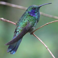 Hummingbirds of North America: Green Violet-Ear