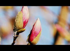 Winter cherry buds
