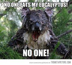 Angry Koala is angry