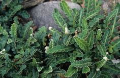 Ceterach officinarum – Rusty back fern
