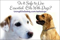 Using essential oils with dogs - safety; which oils to use (safe list)… Kid Safe Essential Oils, Essential Oils For Pregnancy, Essential Oil Safety, Coconut Oil For Fleas, Safety And First Aid, Healing Oils, Healing Herbs, Oils For Dogs, Best Oils