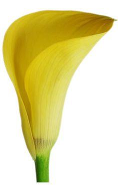 gorgeous yellow calla