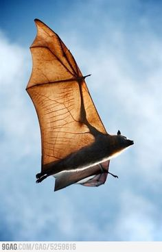 The bat is the only mammal that can fly. The leg bones of a bat are so thin that no bat can walk. They always turn left when leaving a cave.  Soaring in the sunlight… Bat (via Animals | Land & Above).