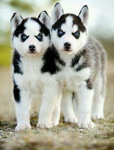 Cachorros Husckies