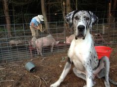 Vulpine Great Danes - Past Puppies - Home of Champion bred American and European lined Great Danes. Merle Great Danes, Past, Puppies, Dogs, Animals, Past Tense, Cubs, Animales, Animaux