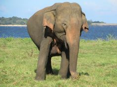 This pregnant female elephant at Kaudulla National Park in central Sri Lanka seems ready to give birth. Sri Lanka, Birth, National Parks, Elephant, Female, Animals, Animaux, Animal, Animales