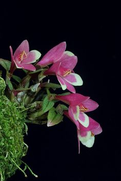 Orchids in Bloom: Dendrobium cuthbertsonii bicolor