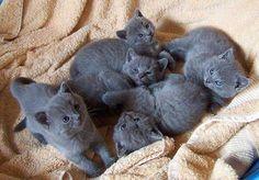 Annonces concernant les naissances du moment ou à venir des chatons chartreux de l'élevage.