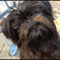 Affenpinscher - We saw the cutest puppy the other day - Looked just like Chewbacca!