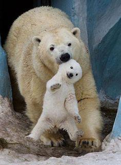 Polar Bear moving her cub. Save The Polar Bears, Baby Polar Bears, Cute Polar Bear, Photo Ours, Photo Animaliere, Cute Baby Animals, Animals And Pets, Funny Animals, Bear Pictures