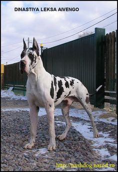 Adopt Lambo On Great Dane Rescue Great Dane Dogs Great Dane Puppy