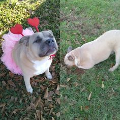 This photo shows how sweet Mina can be my little princess one day and be so mischievous the next! Cheer You Up, Ready To Play, Little Princess, Playing Dress Up, Funny Photos, Animal Pictures, Cuddling, Your Pet, French Bulldog