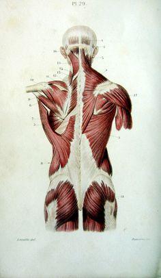 Le système musculaire. 1852. Vue des muscles dorsaux, muscles tronc. Planche 29. Dessin : Jean-Baptiste Léveillé. Gravure : M. Davesne. [Anatomie du XIXe siècle : https://www.pinterest.com/mediamed/xixth-anatomy/].