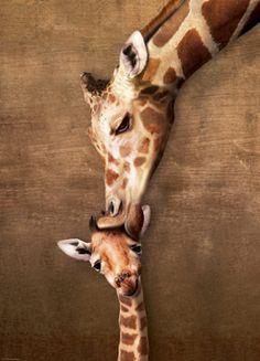 Puzzle Žirafa - Mateřský polibek (Giraffe - Mother's Kiss) EUROGRAPHICS 1000 dílků