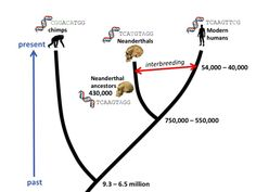 How molecular clocks are refining human evolution's timeline