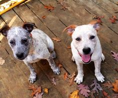 Female cattle dog puppies is an adoptable Cattle Dog Dog in Pelham, NH We have 2 red and blue heeler puppies!  They are 16 weeks old and weigh in at approx 15 pounds ea ... ...Read more about me on @petfinder.com