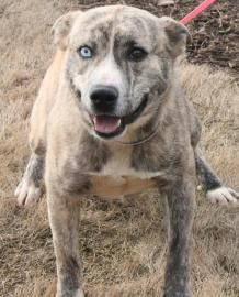 Bacon is available for adoption at Greenville County Animal Care Services in Greenville SC. Animal ID : 19364557  Breed : Siberian Husky / Terrier, American Staffordshire  Age : 1 year 5 months  Gender : Male  Color : Brindle / Tan  Spayed/Neutered : Yes  Size : Large