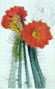 walter hood fitch | This watercolor of an Echinocereus polyacanthus by Walter Hood Fitch ...
