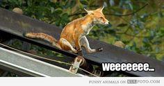 Funny fox :)