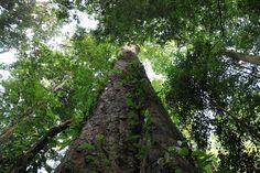Descubierto en el Kilimanjaro el árbol más alto de África - http://www.jardineriaon.com/descubierto-en-el-kilimanjaro-el-arbol-mas-alto-de-africa.html #plantas