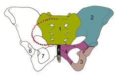 Skeletal Pelvic Cavity