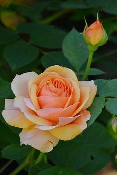 Captivating Why Rose Gardening Is So Addictive Ideas. Stupefying Why Rose Gardening Is So Addictive Ideas. Beautiful Rose Flowers, Love Rose, My Flower, Beautiful Flowers, Orchid Flowers, Orange Roses, Red Roses, Black Roses, Rosas David Austin