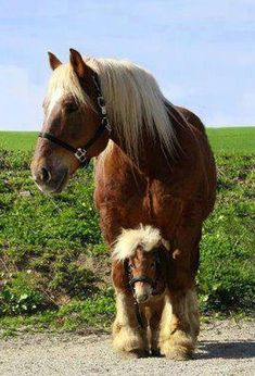Big & Small Draft Horse