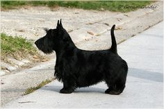 INVISIBLE TOUCH KENNEL  Invisible Touch Black Sapphire Natural pose, 6 months on pic Photo by Goran Gladic