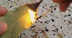 bruciare foglia di alloro