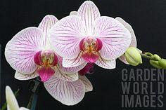 Phalaenopsis Mission