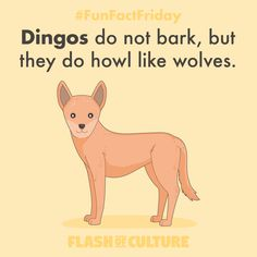FUN FACT: Dingos do not bark, but they do howl like wolves. Fun Facts For Kids, Fun Facts About Animals, Animal Facts, Wtf Fun Facts, Australia Fun Facts, Australia Animals, Australian Slang, Fun Fact Friday, Animal Adaptations