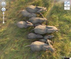 Wild Elephants in Chad
