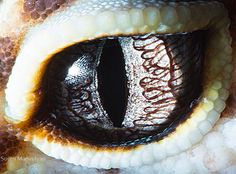 Photos of Animal Eyes from Suren Manvelyan — series of extreme close-ups which seem to peer right into the soul of various animals. —  Gecko eublepharis