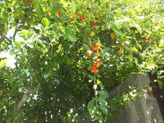 Magia das Plantas: Pé de Acerola