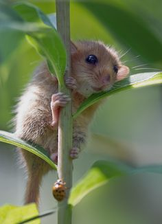 Haselmaus - dormouse by Isabelle Eichenberger on 500px