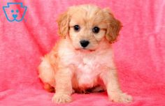 This loving baby is a Cavachon ready to load you with puppy kisses. This fella is sure to keep you on your toes with his Puppies For Sale, Cute Puppies, Dogs And Puppies, Doggies, Cavachon Puppies, Companion Dog, Dog Rules, Puppy Breeds, Australian Cattle Dog