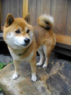 shibainu i wants one so bad! Japanese Dog Breeds, Japanese Dogs, Spitz Breeds, Cute Dog Photos, Cute Dogs Breeds, Fluffy Dogs, Shiba Inu, Akita, I Love Dogs