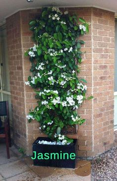 Pergola Plants to Grow in your Pots Move the jasmine inside for winter and grow it up a pergola when spring comes.Move the jasmine inside for winter and grow it up a pergola when spring comes. Diy Garden, Garden Projects, Garden Plants, Plants For Trellis, Garden Shade, Balcony Plants, Moon Garden, Potted Garden, Patio Plants