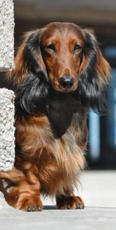 """Admit it, I stick out in a crowd!"" #dogs #pets #LonghairedDachshunds Facebook.com/sodoggonefunny More"