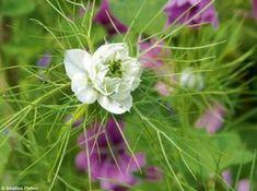 La nigelle et la mauve, très faciles Si vous ne faites qu'un semis en septembre, ce sera celui‑ci, qui associe deux annuelles rustiques, la nigelle de Damas et la Lavatera (syn. Malva) trimestris. Bêchez légèrement un petit carré, apportez un peu de compost, émiettez, griffez en surface et semez à la volée, pas trop dense. Ratissez, arrosez. Rendez‑vous en mai pour les fleurs - Découvrez 14 fleurs qui ne craignent pas l'hiver! - Mon Jardin & ma maison