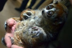 six-week old and still nameless pygmy slow lori (L, Nycticebus pygmaeus) is seen with its mother Malaga at the zoo in Szeged, Hungary,
