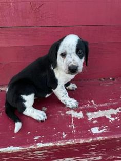 Copper - Bernese Mountain Dog Mix Puppy for Sale in Blairsville, PA | Lancaster Puppies Bernese Mountain Dog Mix, Lancaster Puppies, Dog Mixes, Family Set, Puppies For Sale, Dogs, Animals, Animales, Animaux