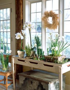 Dining room decorated for Christmas with dried wheat wreaths. A vintage clam shucking table holds flowering white amaryllis and paperwhite bulbs-- Interior design: Edie van Breems -- photo: Lisa Hubbard