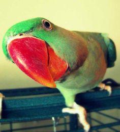 Male Alexandrine Parrot/Parakeet - (Photo by Kelli Alsup)