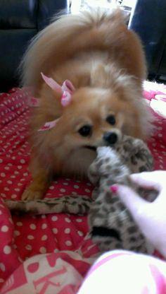 Dutchess, my Pomeranian!