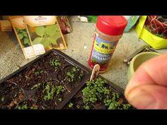 ▶ Using Cinnamon as an Anti-Fungal for 'Damping Off' Disease: Protect Seedlings! - MFG 2014 - YouTube