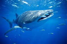 Whale Shark ~ Photograph by Brian J. Skerry The largest fish in the sea, the whale shark can reach lengths of 40 feet meters) or more. The gentle giants are filter feeders, swimming with their wide mouths open to collect plankton and small fish. Whale Shark Facts, Swimming With Whale Sharks, Shark Diving, Padi Diving, Scuba Diving, Shark Pictures, Shark Photos, Shark Images, Underwater Photos
