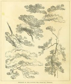 """Foliage of the scotch fir. From the public domain book, """"Studies of trees in pencil and in water colors (1895)."""" Download or browse the epub, kindle or pdf file here: https://archive.org/stream/studiesoftreesin00need"""